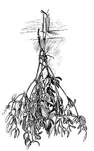 Marmion's Christmas Song - mistletoe picture